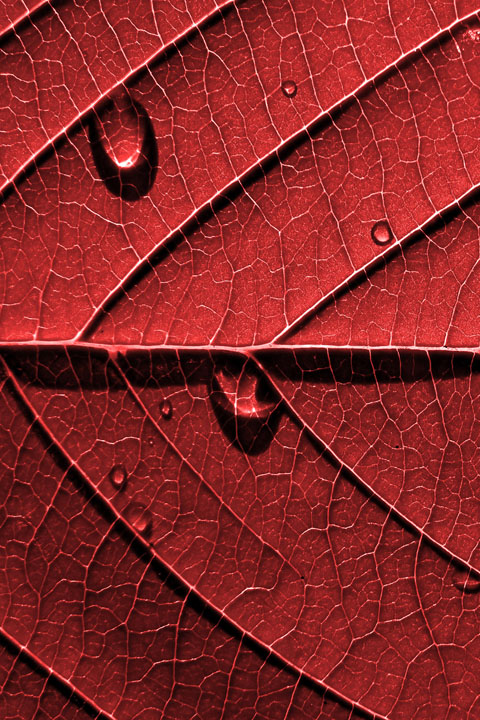 Dr. Van Ymeren's red leaf